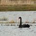 Black Swan @ Combe Haven