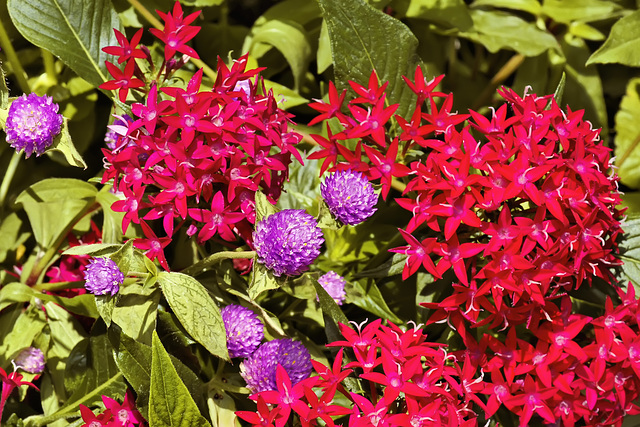 Red Stars, Purple Buttons – Brookside Gardens, Silver Spring, Maryland