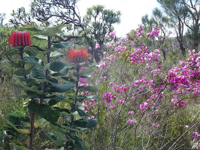 Banksia coccinea and Gompholobium scabrum ?