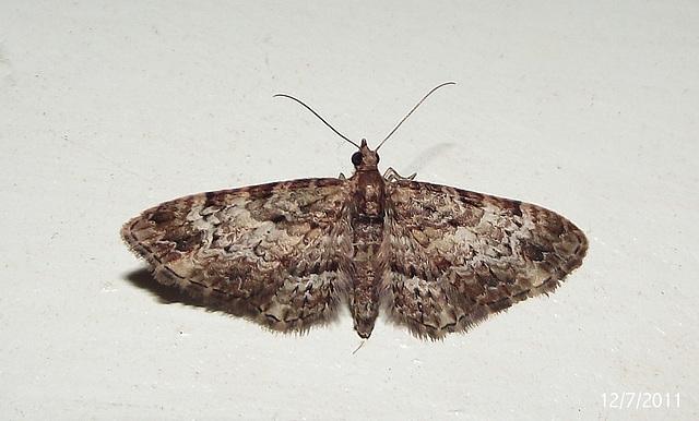 Chloroclystis approximata (Female)