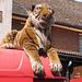 Tiger softie