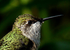 Ruby-throated Hummingbird Portrait