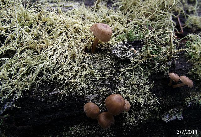 Usnea species (I think!)