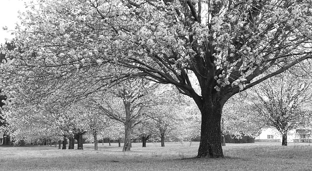 Pear trees, monochrome