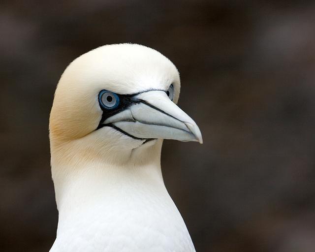 Gannet Portrait