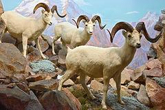 Dall Sheep Diorama – Carnegie Museum of Natural History, Pittsburgh, Pennsylvania