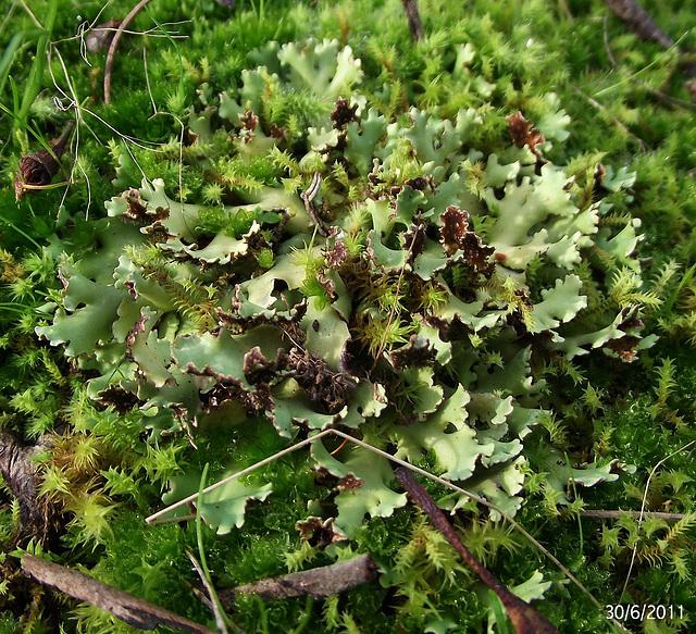 Parmelia species (Possibly!)