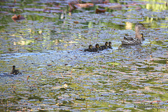Mallard gathering her ducklings