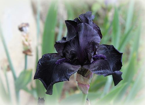 Iris 'Before The Storm'