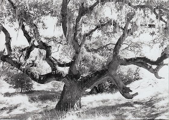 Oak and Moss