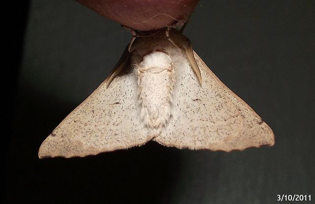 Arhodia lasiocamparia Underwing