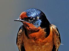 Barn Swallow Portrait