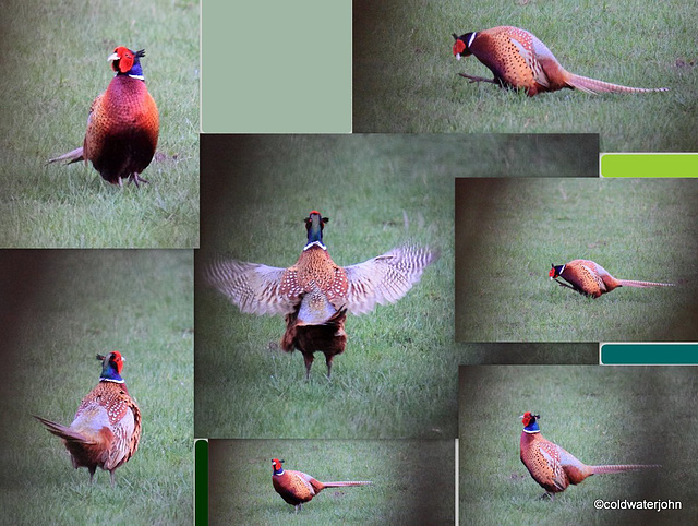 Spring is in the air - Cock Pheasant displaying...