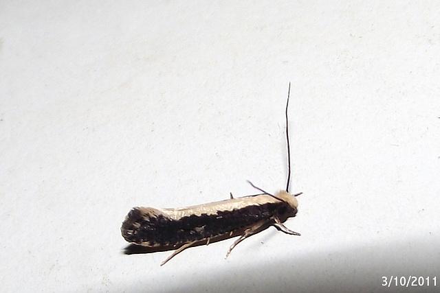 Monopis ethelella