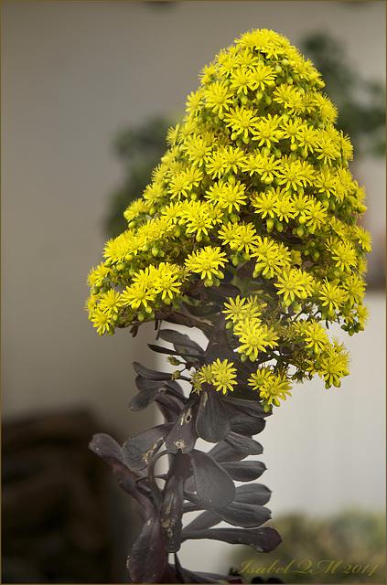 Aeonium arboreum var. atropurpureum 'Schwarzkopf'