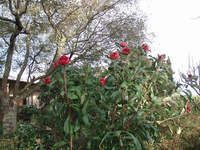 waratah bush