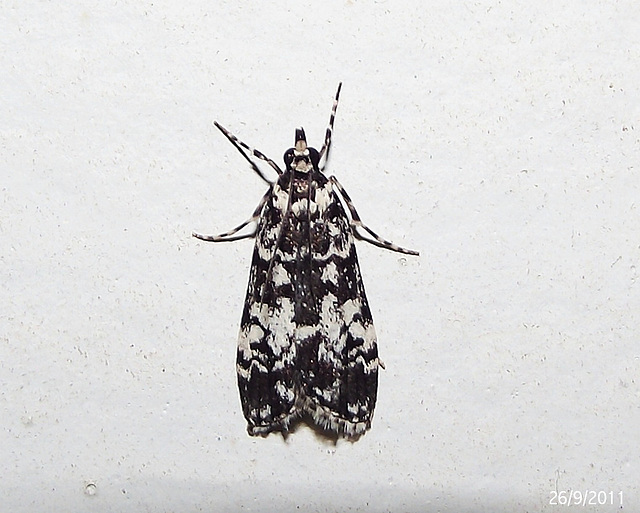 Scoparia aphrodes (Possibly!)