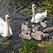 Swan family 1