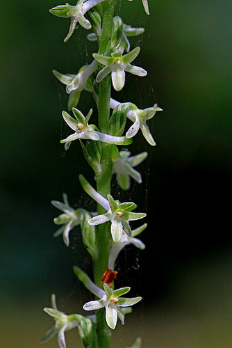 Piperia transversa