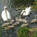 Swan family 2