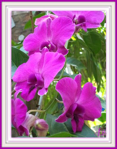 ** Orchidée de Thaïlande **