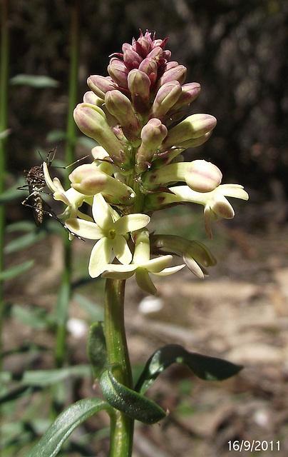 Stackhousia monogyna (with Companion!)