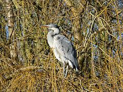 Grey Heron - 3