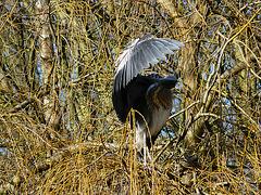 Grey Heron - 5