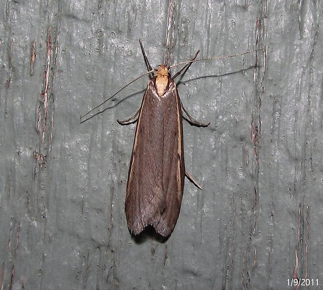 Philobota species (Unidentified)