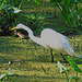 Great Egret froghunting in the Audabon Corkscrew Reserve