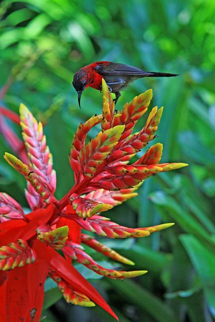 Crimson Sunbird and Bromeliad