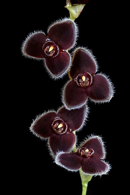 Stelis ciliolata