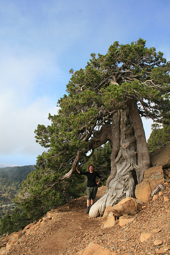 A Cyprus Pine