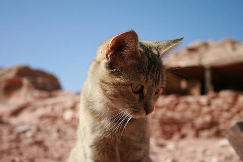 A Desert Cat