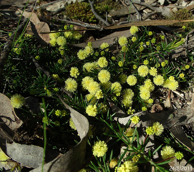 Acacia aculeatissima