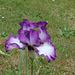 Iris 'Mariposa Autumn '