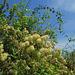 20100315-0238 Getonia floribunda Roxb.