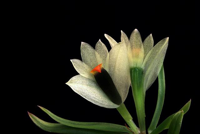 Dendrobium sulphureum var. sulphureum