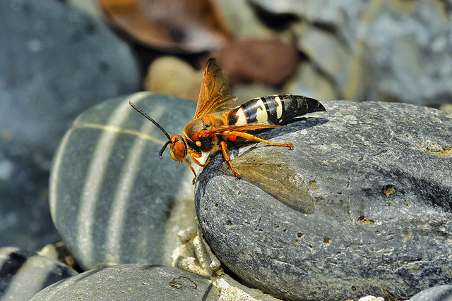Cicada-Killer Wasp – National Arboretum, Washington D.C.