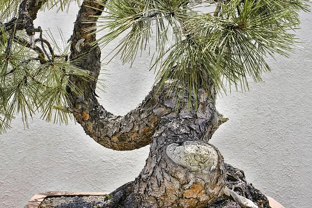 The Other Side of the Ponderosa Pine – National Arboretum, Washington DC
