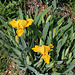Iris nain (2)
