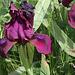 Iris intermédiaire