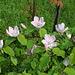 Cognassier - Cydonia obtusifolia