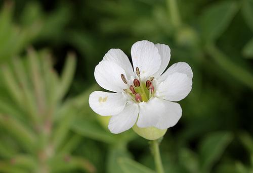 Silene maritima ( uniflora)
