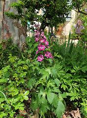 Delphinium hybride