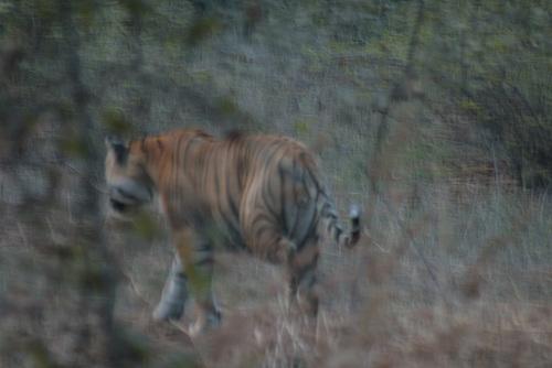 Yay!  A Tiger!