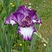 Iris 'Mariposa Autumn '-001
