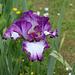 Iris 'Mariposa Autumn '-002