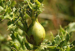 Thistle Gall