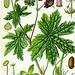Illustration Geranium phaeum